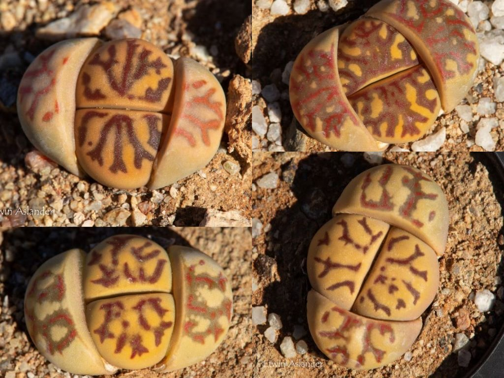 Lithops dorotheae, premium selection  -  500 seeds