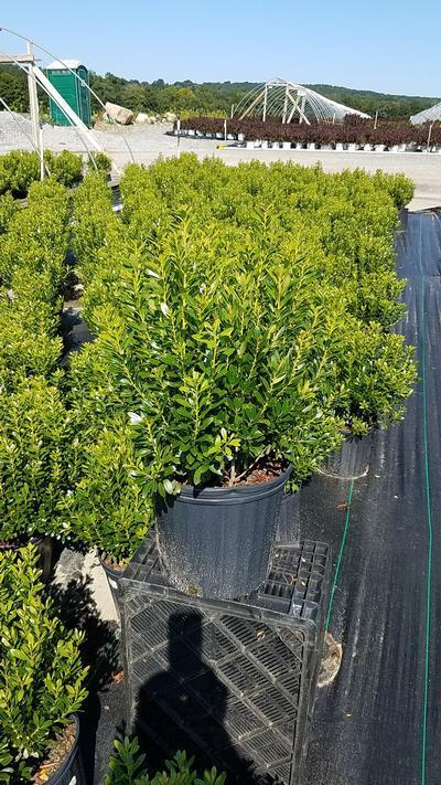Ilex glabra 'Shamrock' - 3 Gal. Crop Shot for 2019-31