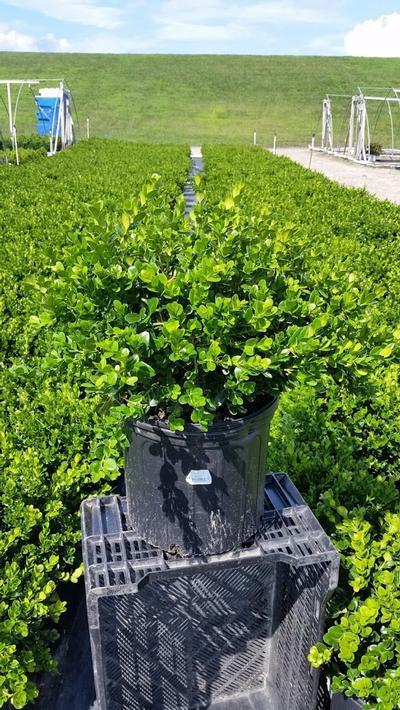 Buxus microphylla 'Winter Gem' - 3 Gal. Crop Shot for 2019-31