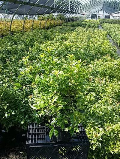 Osmanthus heterophyllus 'Goshiki' - 1 Gal. Crop Shot for 2020-26