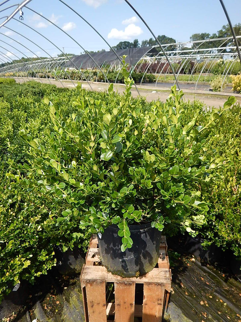 Buxus microphylla 'Winter Gem' - #3 Crop Shot for 2017-35