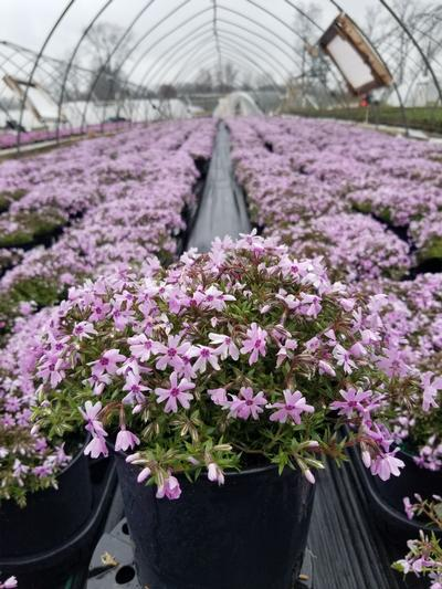 Phlox subulata 'Fort Hill' - 1 Gal. Crop Shot for 2020-17