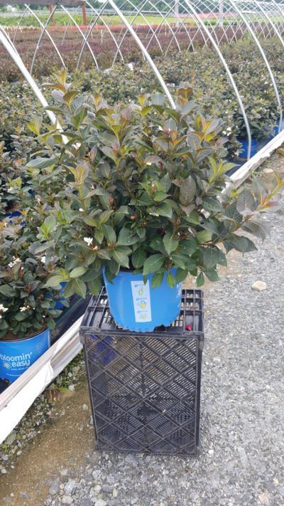 Weigela x 'Tuxedo' - 3 Gal. Crop Shot for 2020-34