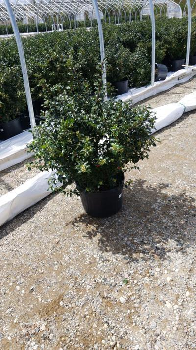 Ilex x meserveae 'Blue Princess' - 5 Gal. Crop Shot for 2020-19