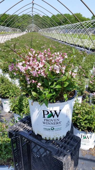Deutzia x 'Yuki Cherry Blossom™' - 3 Gal. Crop Shot for 2019-21