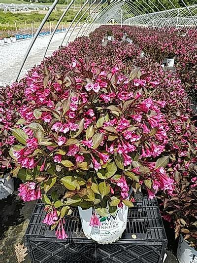 Weigela 'Wine & Roses' - 2 Gal. Crop Shot for 2020-21