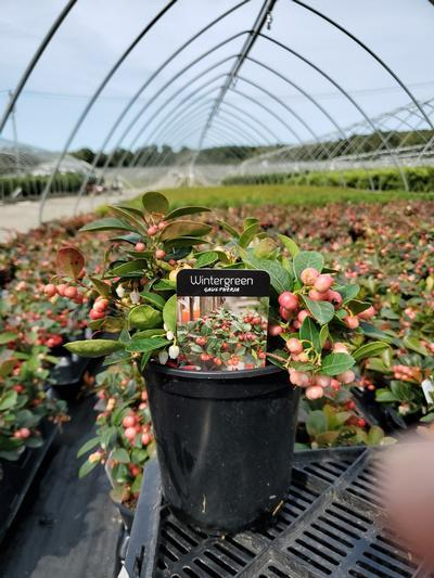Gaultheria procumbens - 1 Gal. Crop Shot for 2020-38