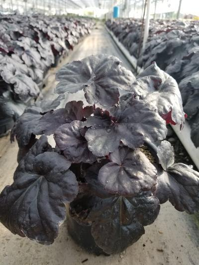 Heuchera villosa 'Black Sea' - 1 Gal. Crop Shot for 2019-39