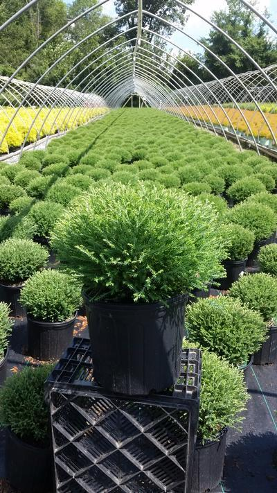 Thuja occidentalis 'Mr. Bowling Ball' - 3 Gal. Crop Shot for 2019-33