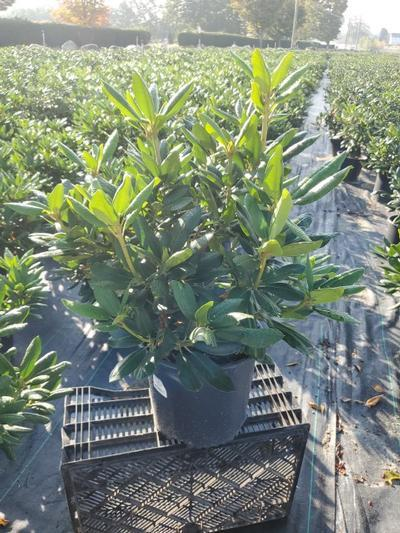 Rhododendron catawbiense 'English Roseum' - 3 Gal. Crop Shot for 2020-38