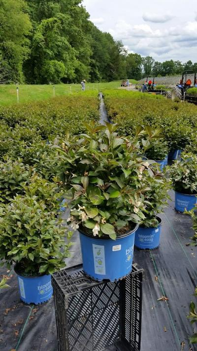 Weigela x 'Tuxedo' - 3 Gal. Crop Shot for 2019-22