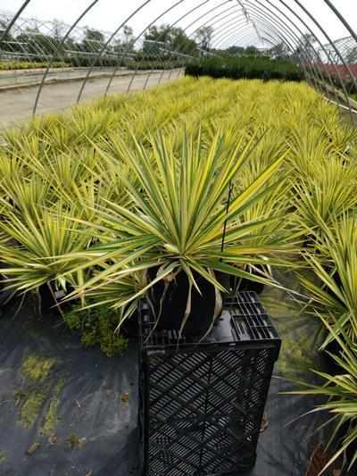 Yucca filamentosa 'Color Guard' - 3 Gal. Crop Shot for 2020-37