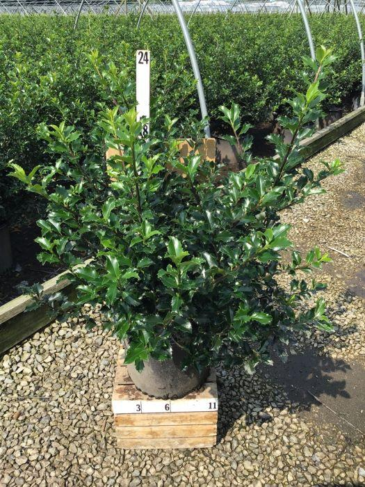Ilex X meserveae 'Blue Princess' - 3 Gal. Crop Shot for 2020-38