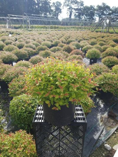 Spiraea japonica 'Magic Carpet' - 3 Gal. Crop Shot for 2020-32