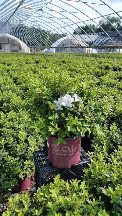Rhododendron (Azalea) Encore® 'Autumn Lily™' - 3 Gal. Crop Shot for 2019-33