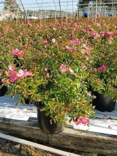 Rosa FLOWER CARPET® 'Coral' - 2 Gal. Crop Shot for 2020-39