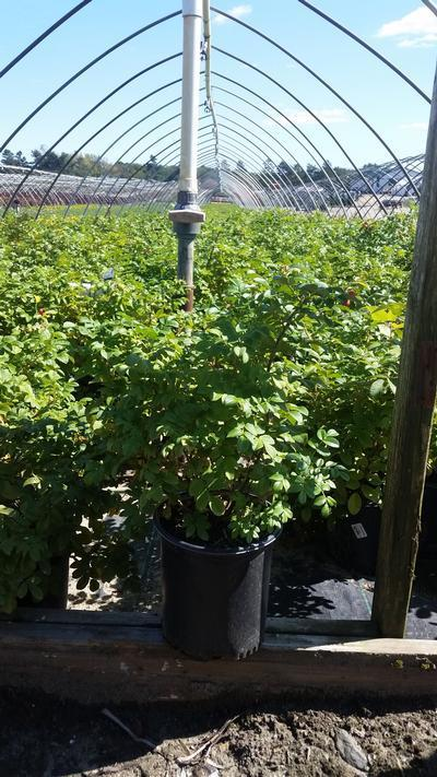 Rosa rugosa - 2 Gal. Crop Shot for 2019-39