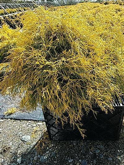 Chamaecyparis pisifera 'Filifera Aurea' - 5 Gal. Crop Shot for 2020-19