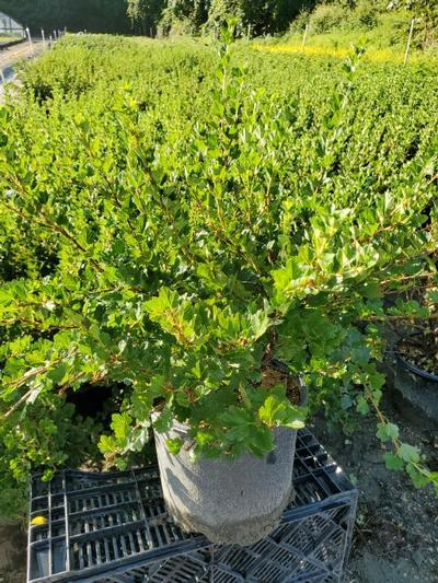 Ribes 'Hinnonmaki Red' - 3 Gal. Crop Shot for 2020-35