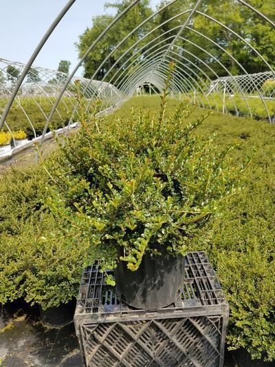 Cotoneaster adpressus 'Little Gem' - 2 Gal. Crop Shot for 2019-28