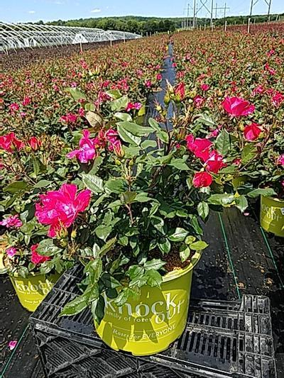 Rosa Knockout - 3 Gal. Crop Shot for 2020-23
