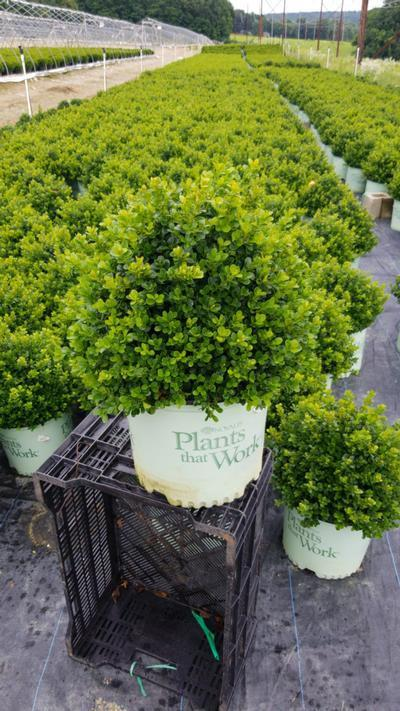 Buxus x 'Cranberry Creek' - 3 Gal. Crop Shot for 2020-29