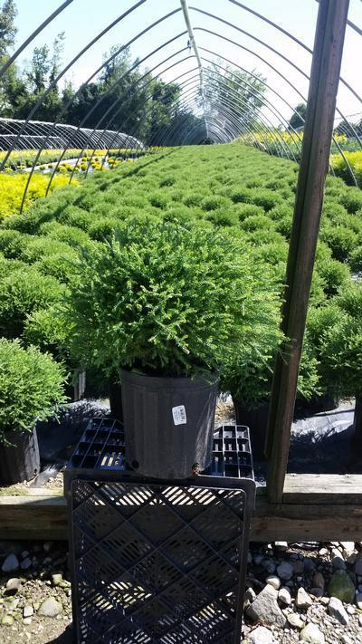 Thuja occidentalis 'Mr. Bowling Ball' - 2 Gal. Crop Shot for 2019-34