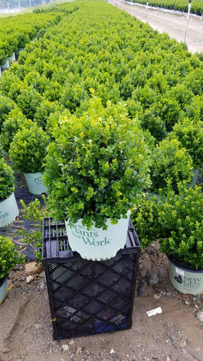 Buxus x 'Cranberry Creek' - 3 Gal. Crop Shot for 2020-34