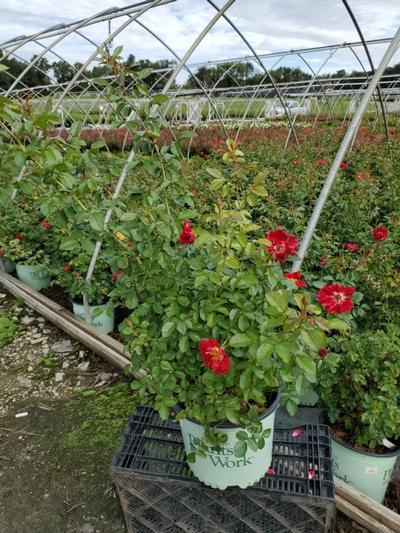Rosa Red Streamer - Climber NEW - 3 Gal. Crop Shot for 2020-35