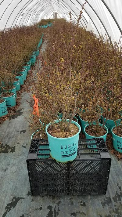 Vaccinium x 'Perpetua®' - 2 Gal. Crop Shot for 2020-12