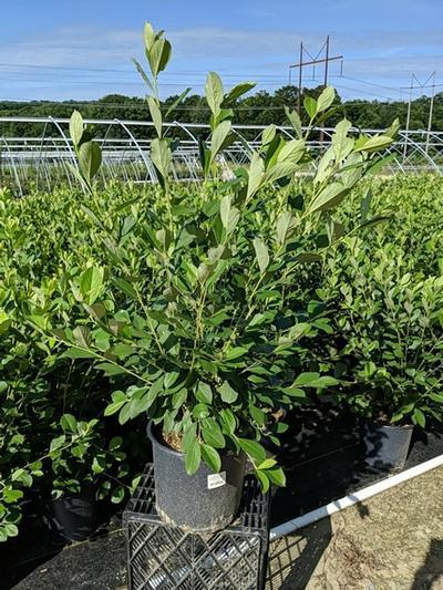Aronia arbutifolia 'Brilliantissima' - 3 Gal. Crop Shot for 2020-28