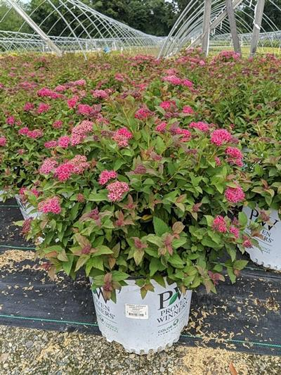 Spiraea jap. Double Play® Doozie™  NEW - 3 Gal. Crop Shot for 2020-29