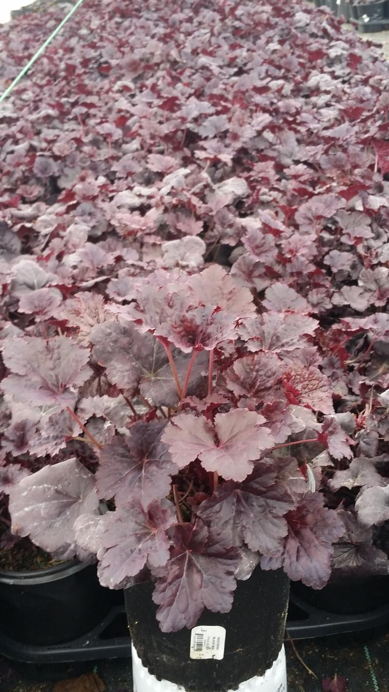 Heuchera villosa 'Black Sea' - 1 Gal. Crop Shot for 2019-14