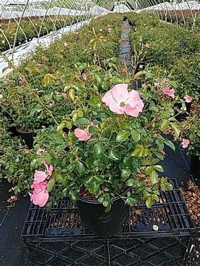 Rosa FLOWER CARPET® 'Coral' - 2 Gal. Crop Shot for 2020-21