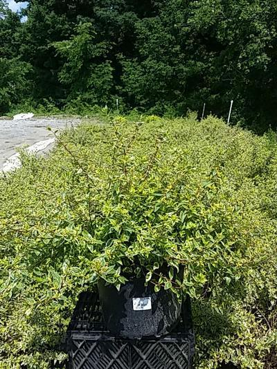 Abelia x grandiflora 'Radiance' - 3 Gal. Crop Shot for 2020-26