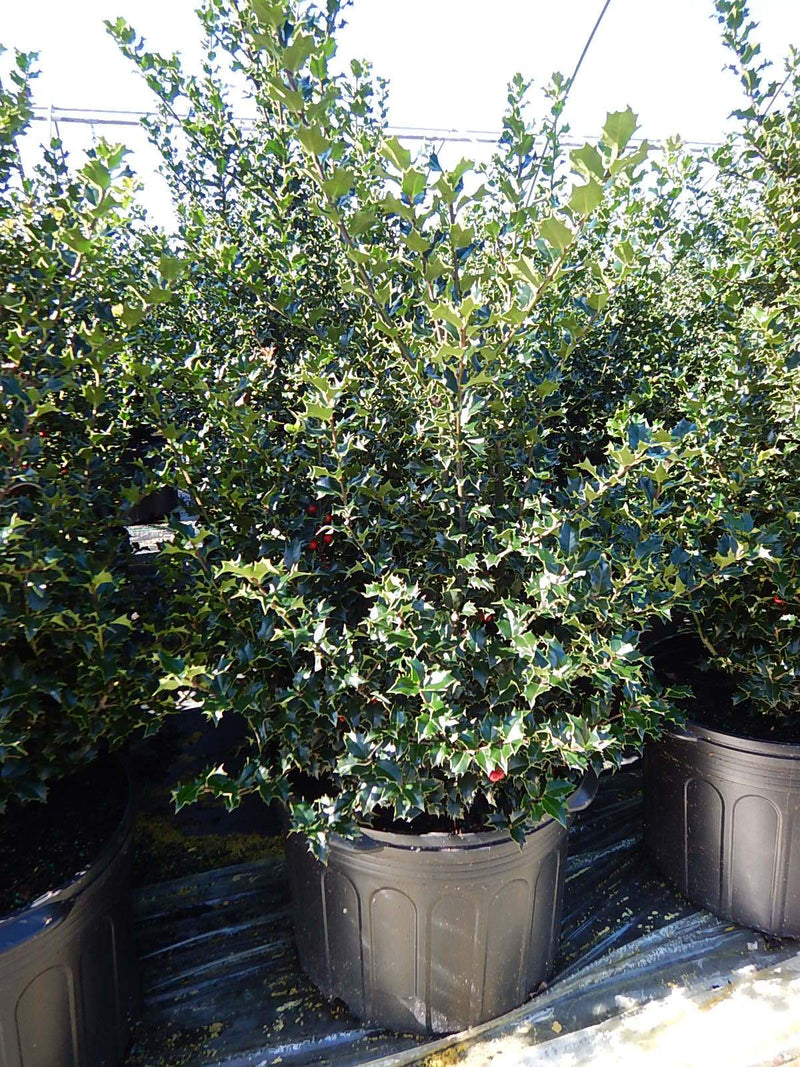 Ilex X meserveae 'Blue Princess' - #5 Crop Shot for 2017-40
