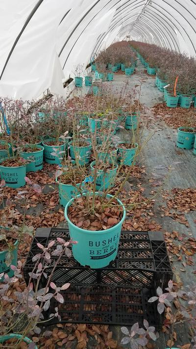 Vaccinium 'Pink Icing' - 2 Gal. Crop Shot for 2020-12