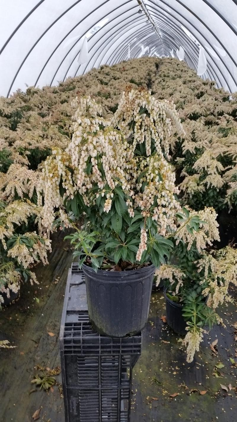 Pieris japonica 'Dorothy Wycoff' - 2 Gal. Crop Shot for 2019-14