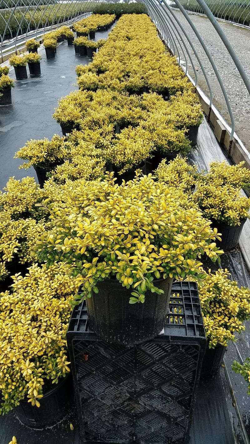 Ilex crenata 'Drops Of Gold' - 3 Gal. Crop Shot for 2019-14