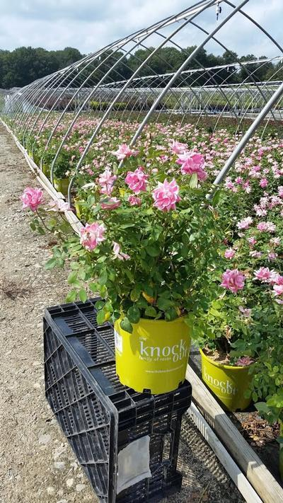Rosa 'Double Pink Knockou't - 2 Gal. Crop Shot for 2019-35