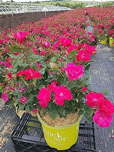 Rosa Knockout - 3 Gal. Crop Shot for 2020-24