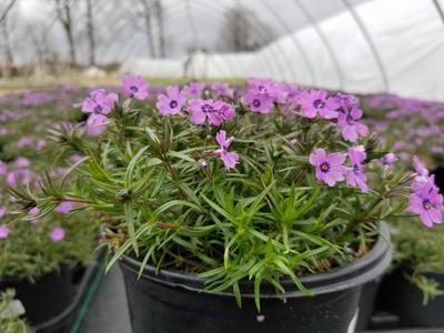Phlox subulata 'Purple Beauty' - 1 Gal. Crop Shot for 2019-16