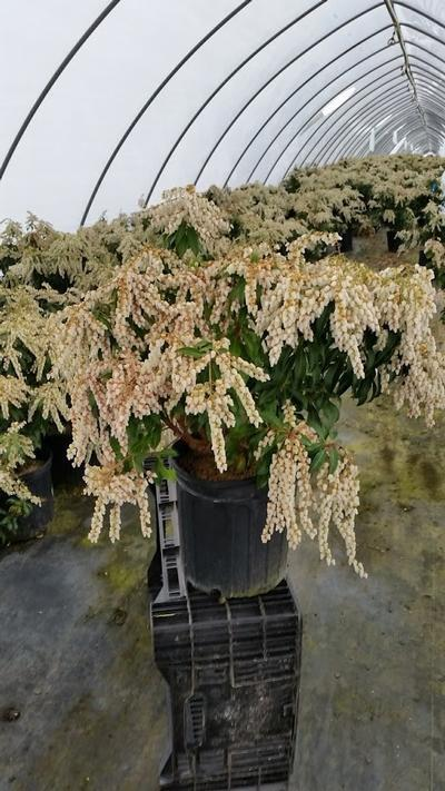 Pieris japonica 'Dorothy Wycoff' - 2 Gal. Crop Shot for 2019-16