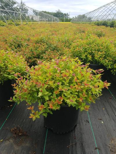 Spiraea japonica 'Magic Carpet' - 3 Gal. Crop Shot for 2020-33
