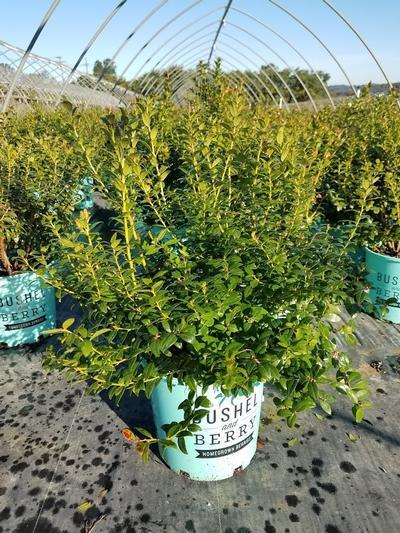 Vaccinium 'Blueberry Glaze' - 2 Gal. Crop Shot for 2019-38