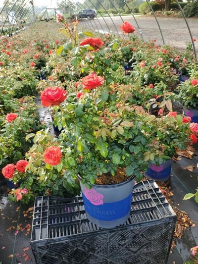 Rosa 'True Passion™ Rose' - 2 Gal. Crop Shot for 2020-32