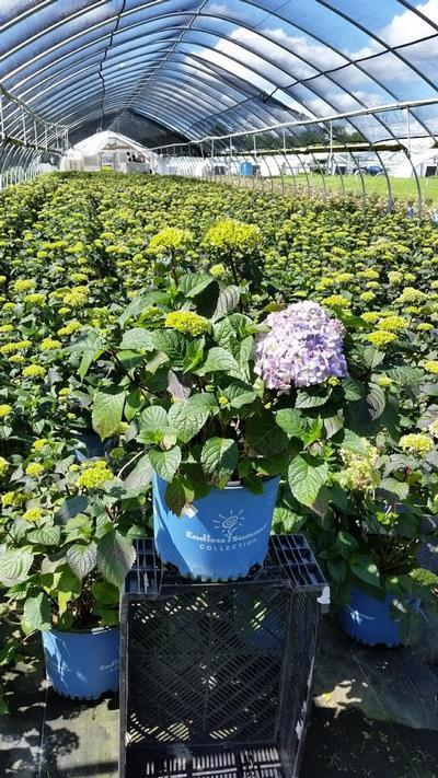 Hydrangea macrophylla Endless Summer® 'Bloomstruck' - 3 Gal. Crop Shot for 2019-22