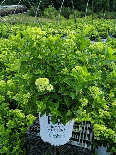 Hydrangea paniculata 'Little Lime®' - 2 Gal. Crop Shot for 2020-27