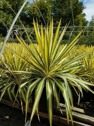 Yucca filamentosa 'Color Guard' - 3 Gal. Crop Shot for 2019-36
