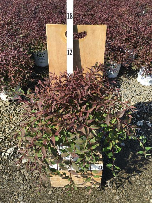 Deutzia X 'Yuki Cherry Blossom™' - 2 Gal. Crop Shot for 2020-41